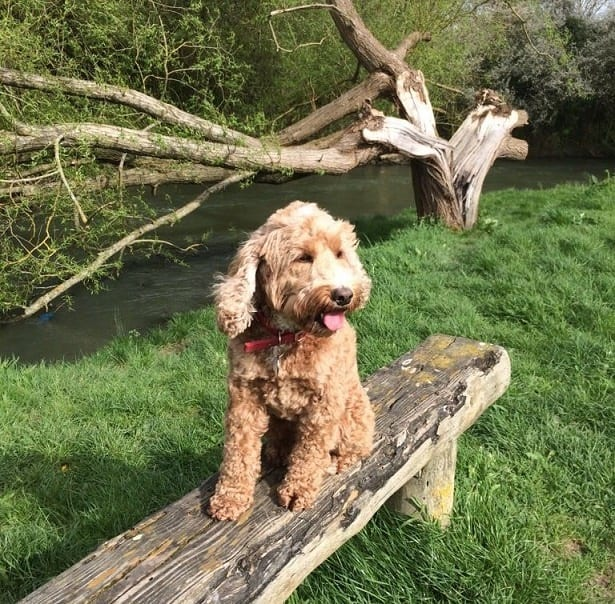 Beautiful Bella the Cockerpoo on her holiday with barking mad oxon