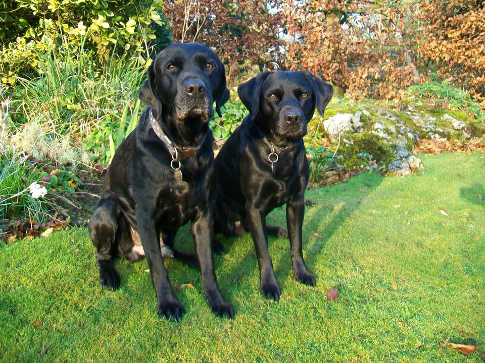 Black Labrador Dogs Digger And Gelert On A Barking Mad Lancaster Dog Holiday