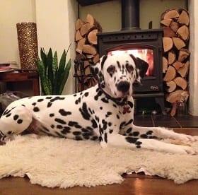 Dalmation dog sitting South & West Oxfordshire