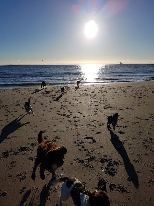 festive dog walk on leven beach with barking mad fife dog home boarding.