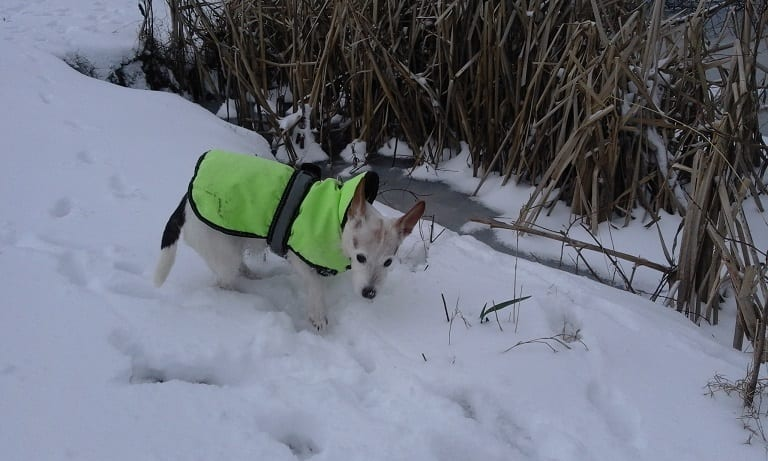 Holly enjoying her holiday wrapped up in her coat on her barking mad holiday.