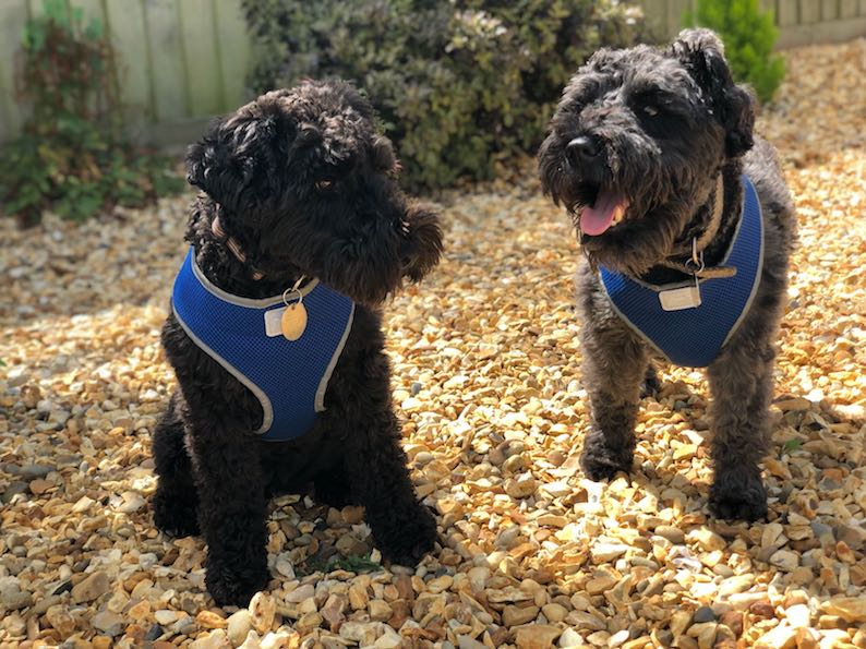 Ollie and Bessie ready to go on their Barking Mad Cotswold holiday – harnesses on for the car journey.