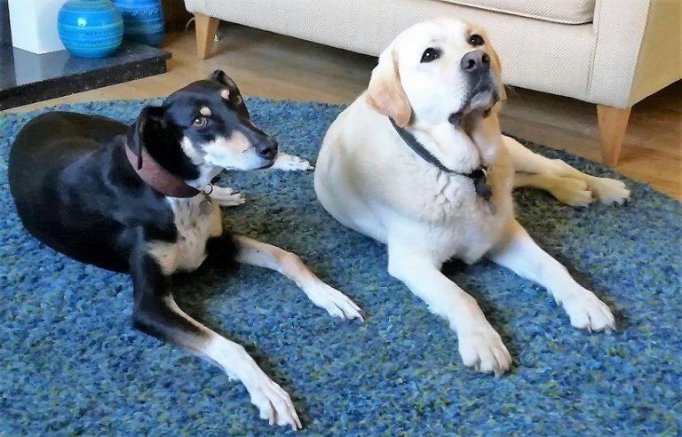 Rosie With Casper Barking Mad dog sitting home boarding Newcastle
