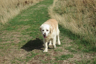 Dave golden retriever barking mad dog sitting home boarding plymouth