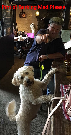 Eddie Labradoodle in the pub barking mad dog sitting home boarding plymouth