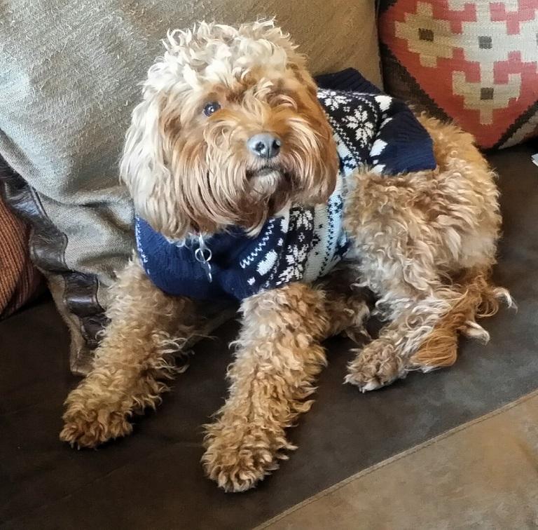 Humphrey the cocakpoo barking mad dog sitting home boarding Newcastle