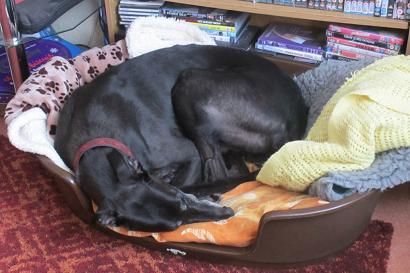 Tommy greyhound Sleeping barking mad dog sitting home boarding plymouth