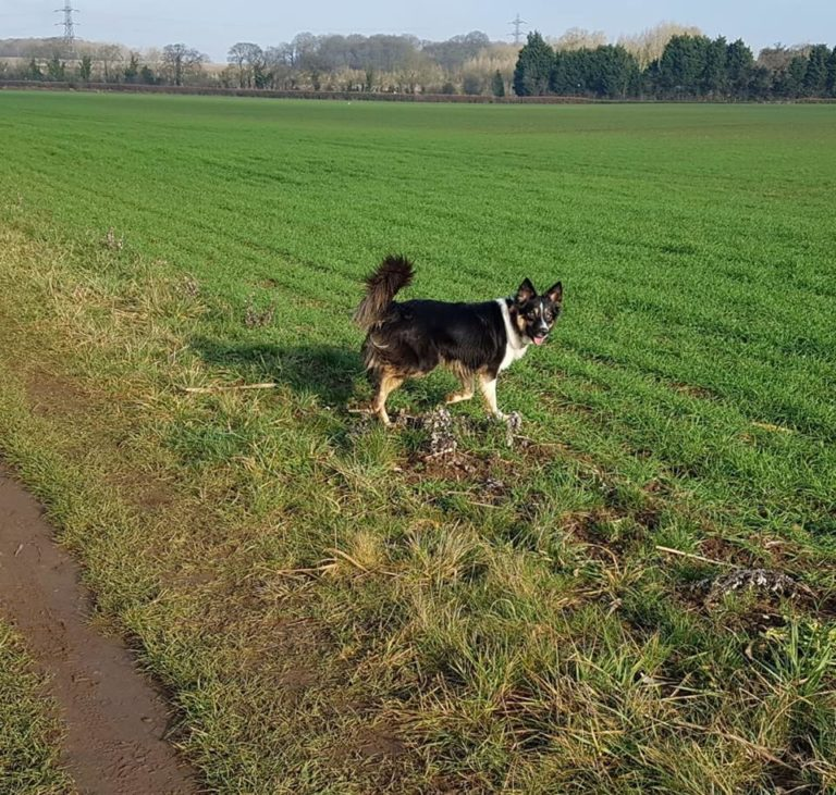 Barking Mad Dog sitting home boarding collie