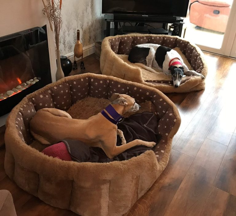 Barking Mad lurcher dog sitting home boarding relaxing