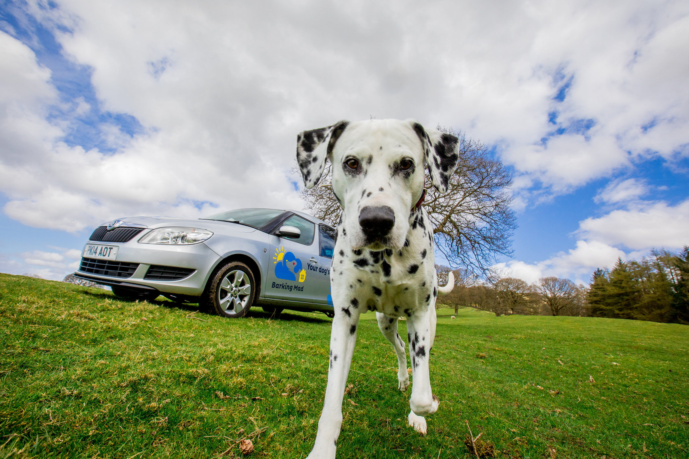 Barking Mad Dog Sitting Dalmatian By Car In Field Web