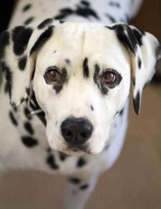 Bronte Barking Mad Dalmatian Head Shot Dog Sitting Home Boarding