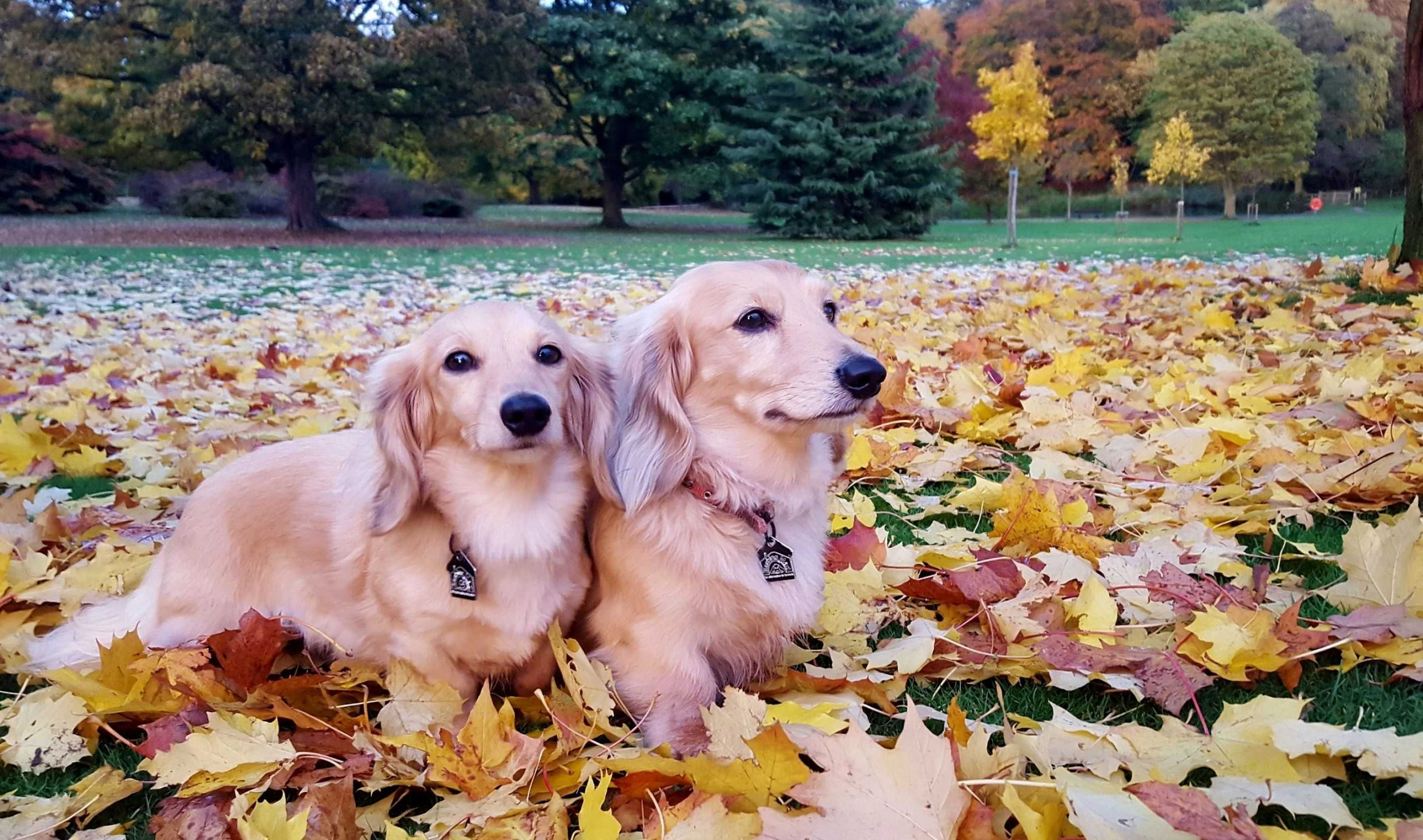 dogs in autumnal leaves