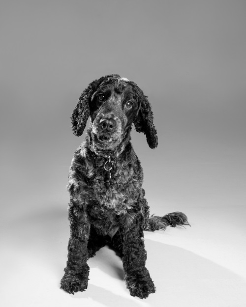 Barking Mad Brady Blue Roan Cocker spaniel