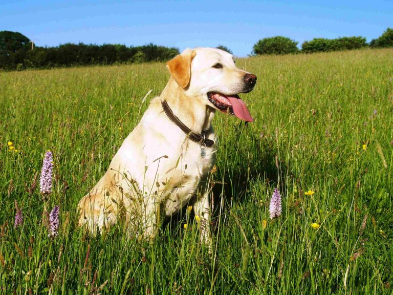 labrador retriever in field flowers lovely day blue skies tongue out outside barking mad dog sitting home boarding