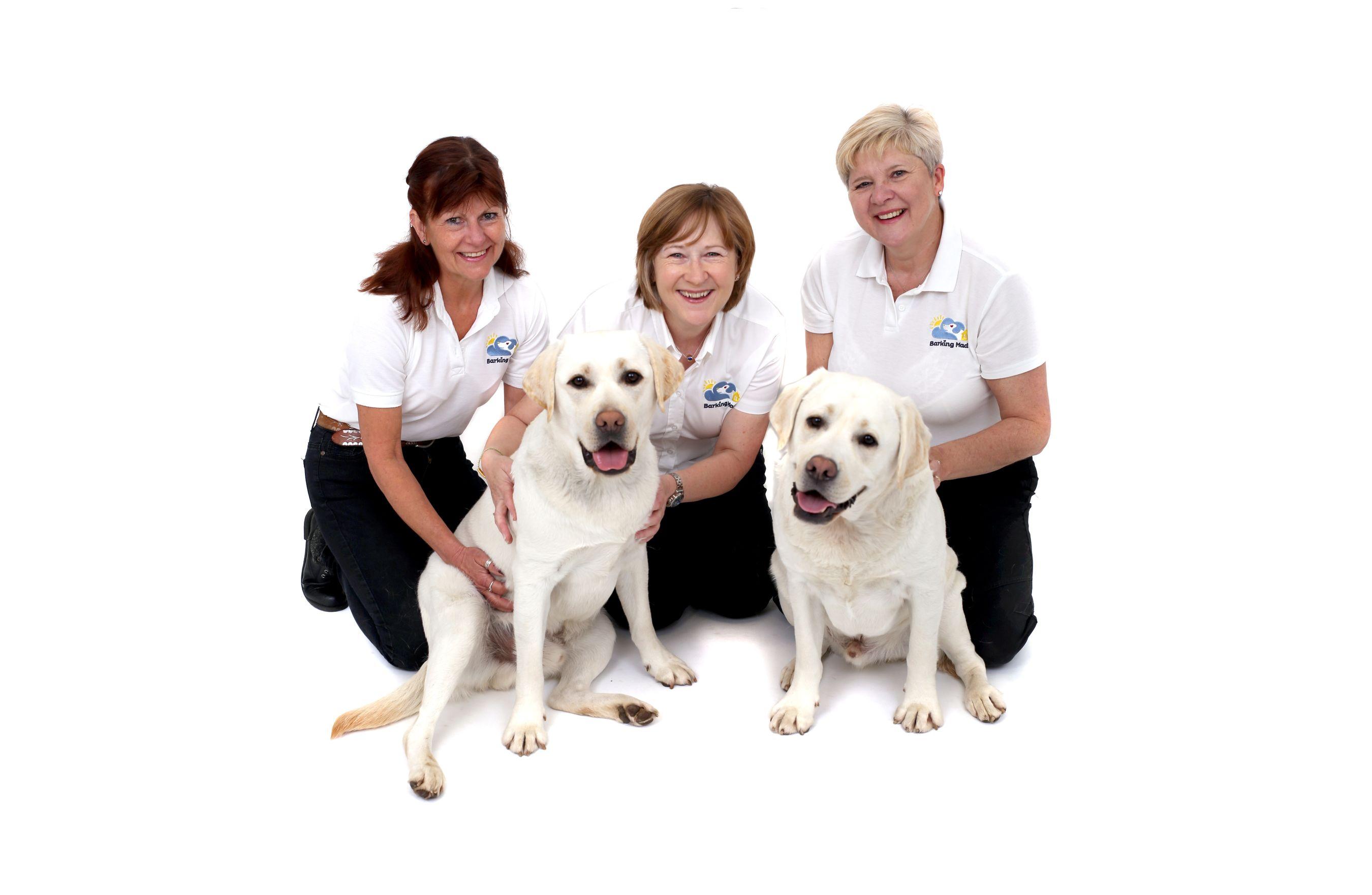 Barking Mad Team Kerry Wells Dog Sitting Labrador (1)