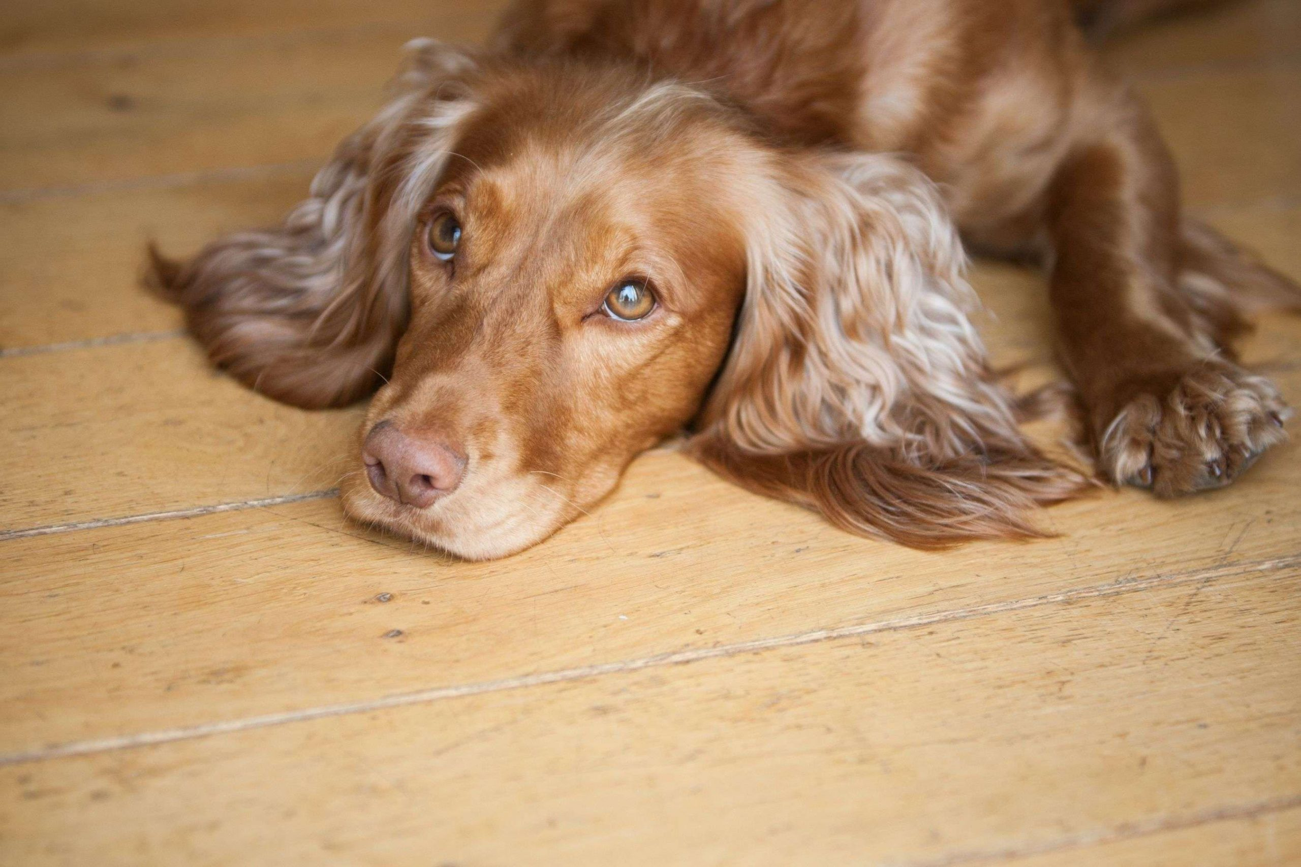 Cocker Spaniel Lying Wooden Floor Barking Mad Dog Sitting Web