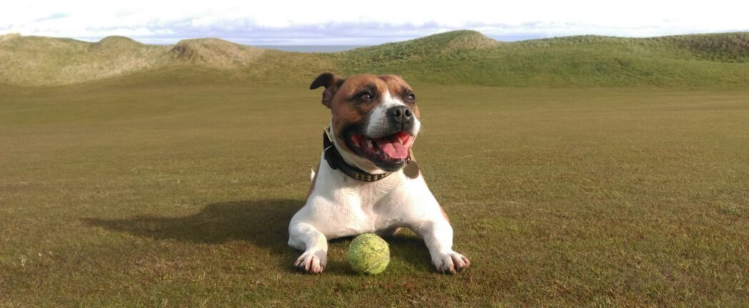 Dog With Ball Field Barking Mad Jack Russell Terrier Home Boarding Holiday