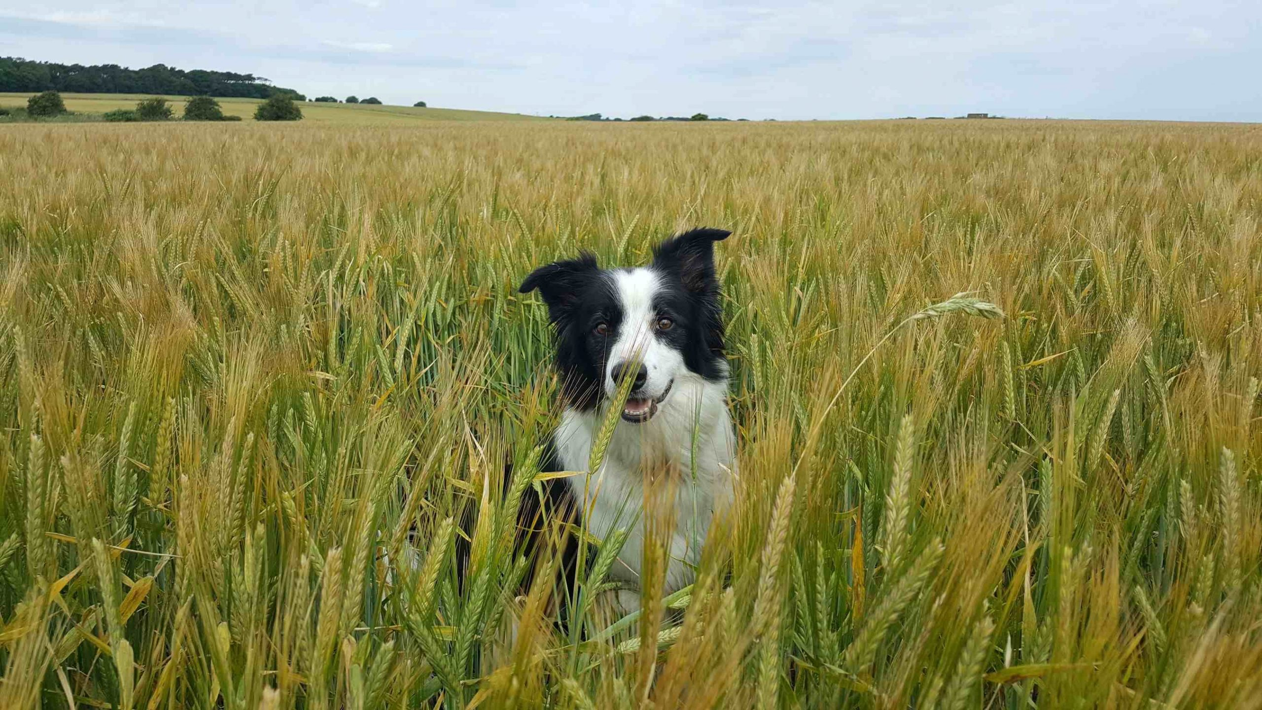 Border collie in grass field smiling cloudy day barking mad dog sitting home boarding