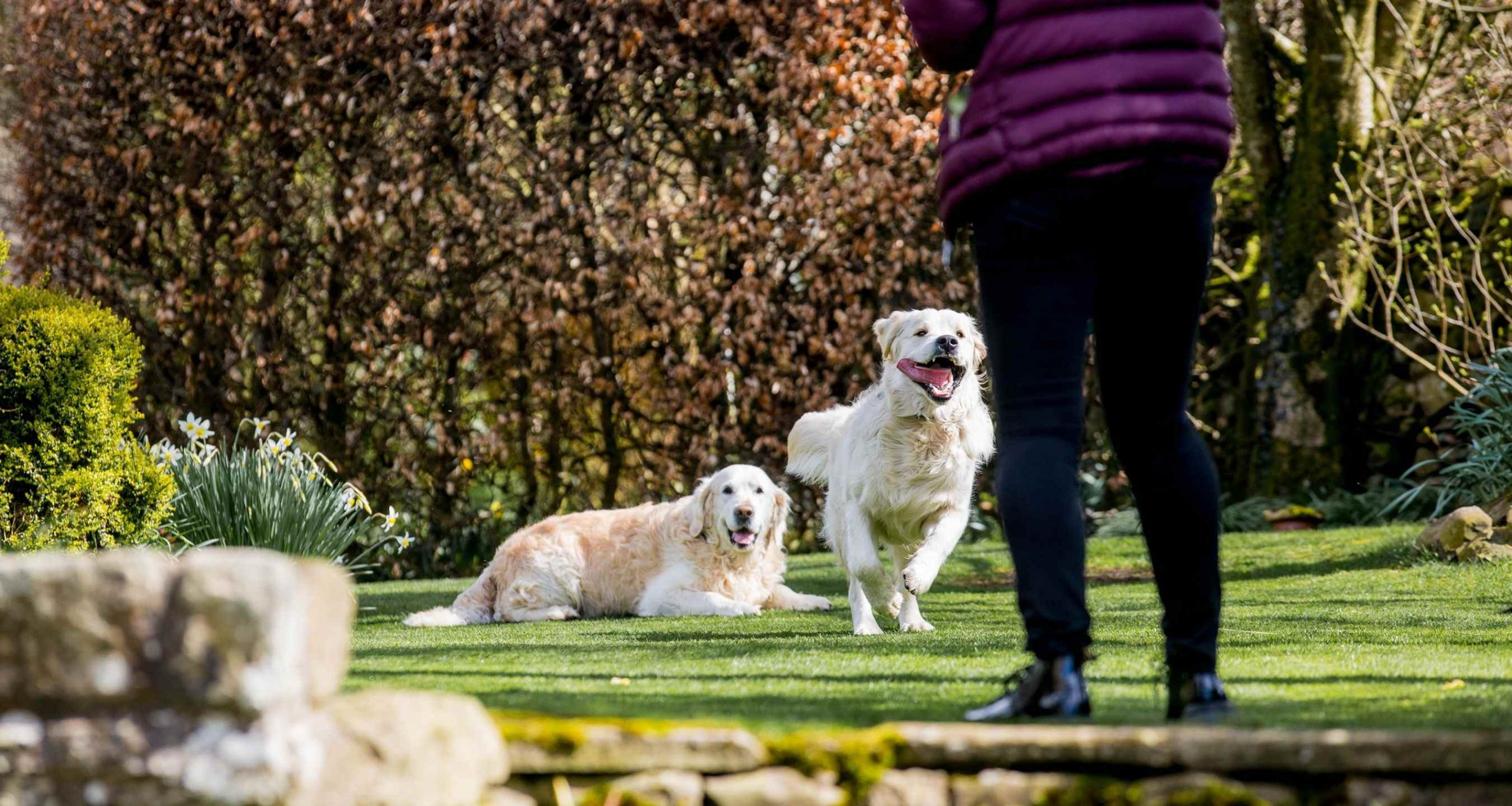 Barking Mad Golden Retrievers Running Garden Dog Sitting 1