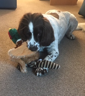 Casper Enjoys Games With His Toy Pheasant On His Holiday