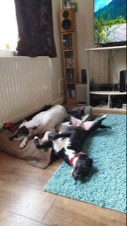 Ernie Enjoyed Lots Of Relaxation With Willow On His Barking Mad Holiday Barking mad dog sitting home boarding colette crowley stratford upon avon warwick