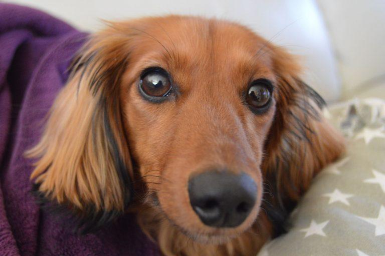 barking mad dog sitting home boarding miniature dacshund pepper
