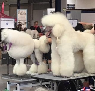 standard poodles grooming white dog sitting home boarding barking mad stratford upon avon