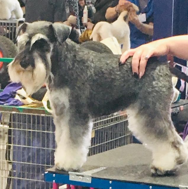national grooming schnauzer barking mad dog sitting home boarding