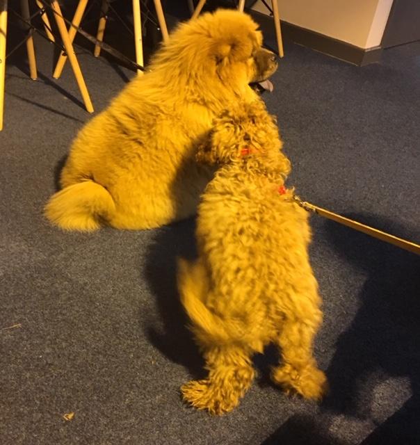 cockapoo teddy susnet chow chow barking mad dog sitting home boarding