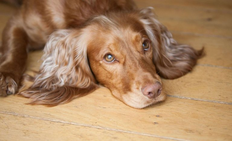 Maddy Cocker Spaniel Wooden Floor Dog Sitting Barking Mad right