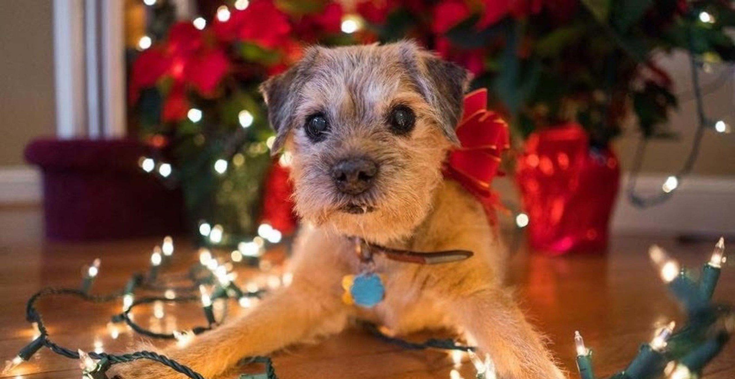 Border Terrier Dog Home Boarding Christmas Tree Lights Barking Mad