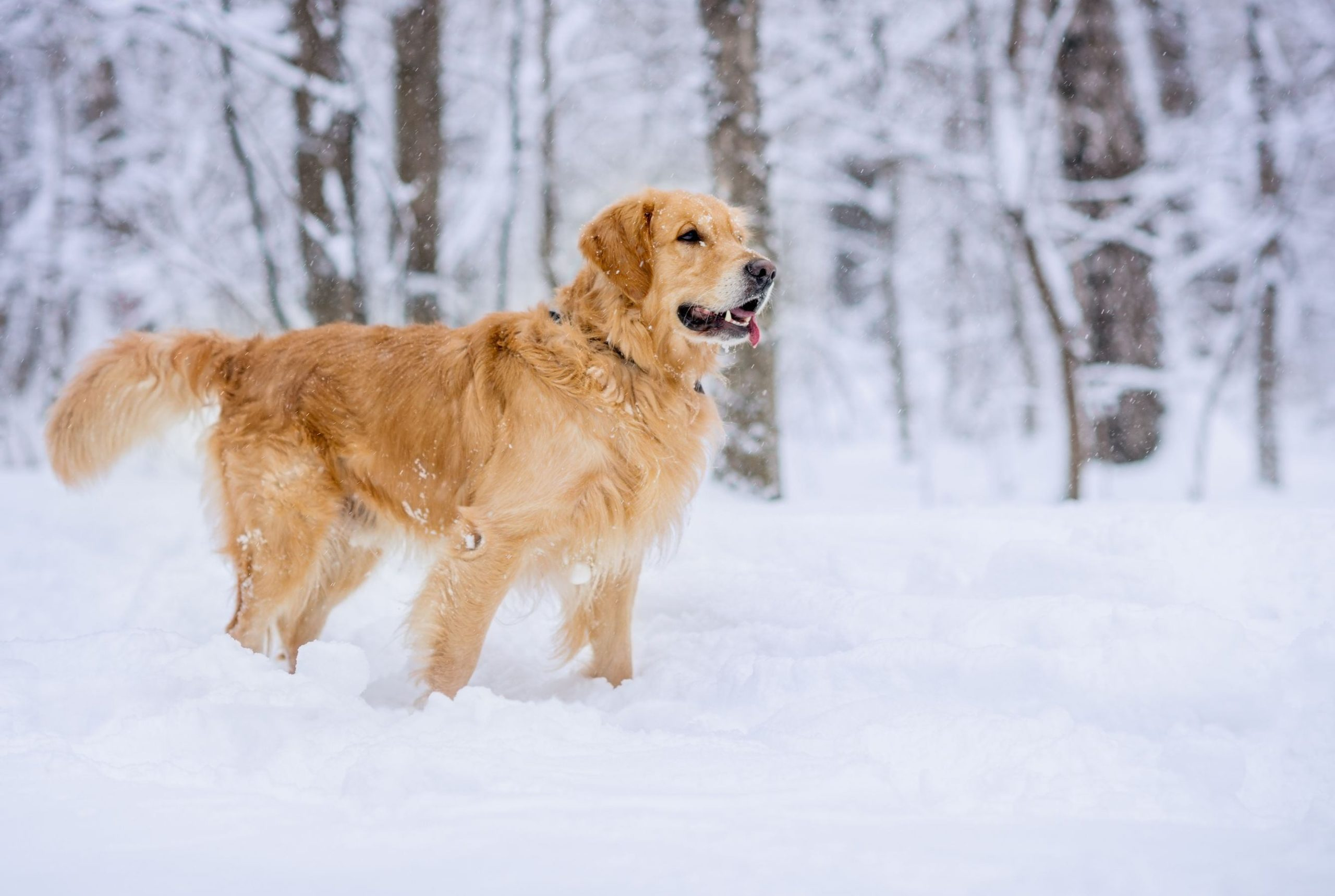 Golden Retriever Dog In Snow Barking Mad Dog Sitting Winter 1