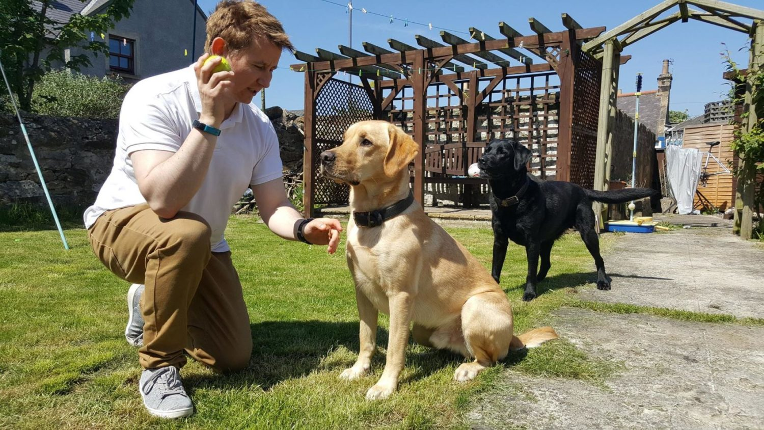 dog sitting host with Labradors