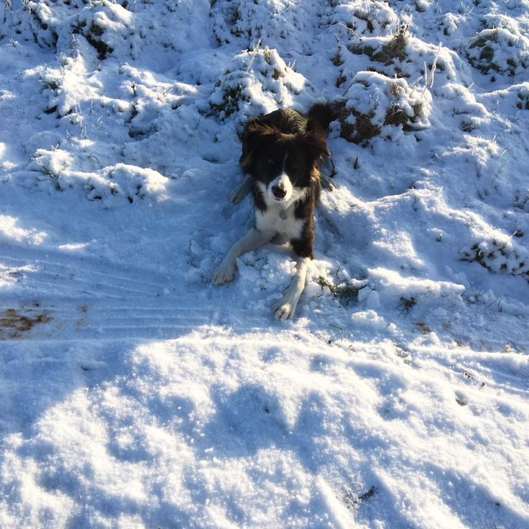 Border Collie Paddy In the snow
