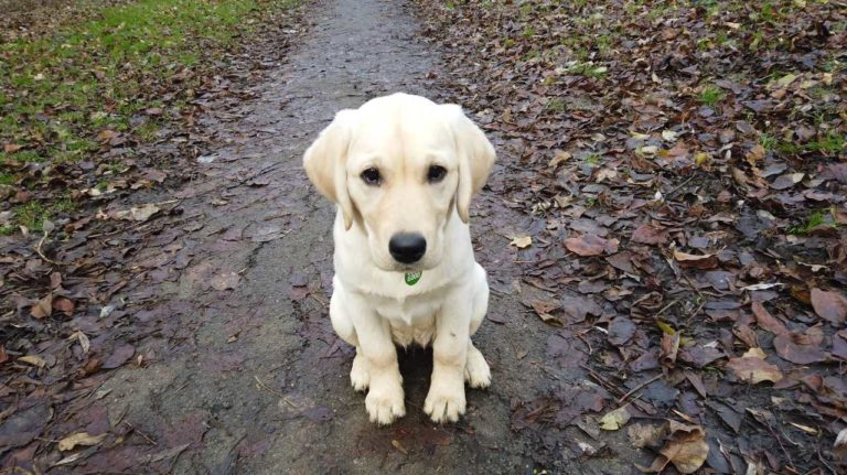 Barking Mad dog sitters are proud to sponsor Dogs for Good assistance dog puppy In training Wendy