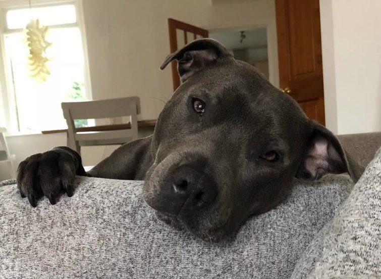 Adult Staffordshire Bull Terrier Blue 768x768