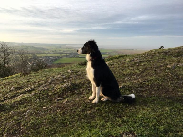 Border Collie Paddy On Warton Crag