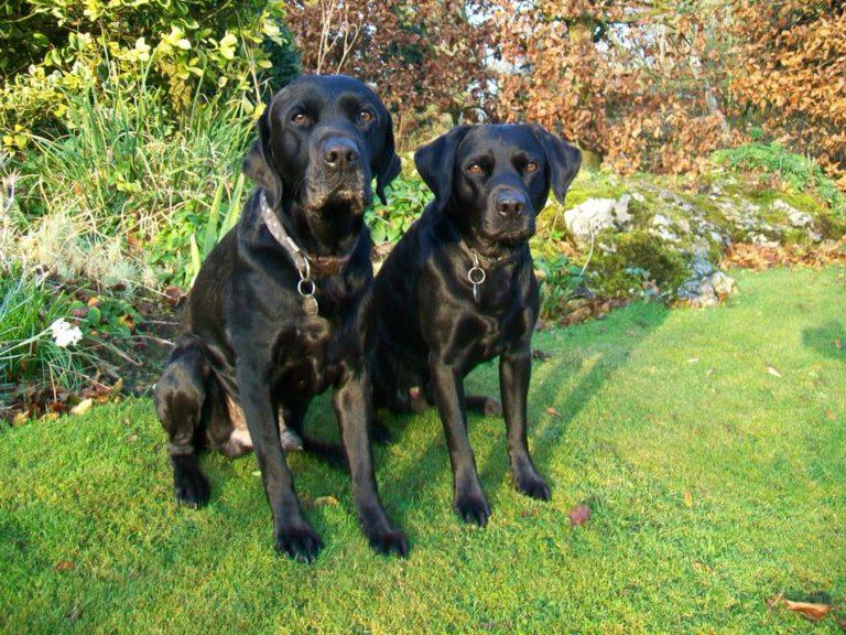 Black Labrador Dogs Digger And Gelert On A Barking Mad Dog Holiday