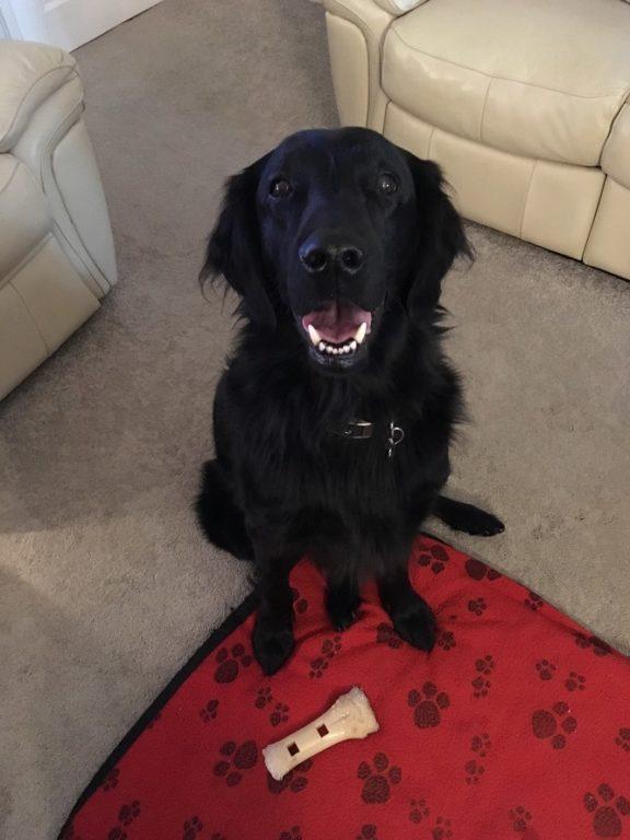 Finlay flat coat retriever barking mad dog sitting home boarding crewe