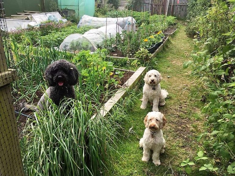 Dogs In An Allotment