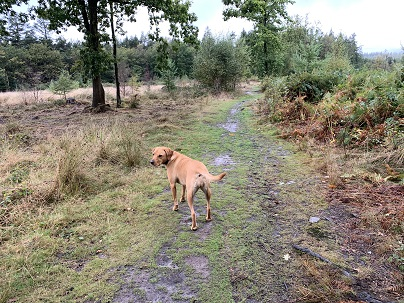 Sept 6 Meg The Labrador On The Barking Mad Dog Walk