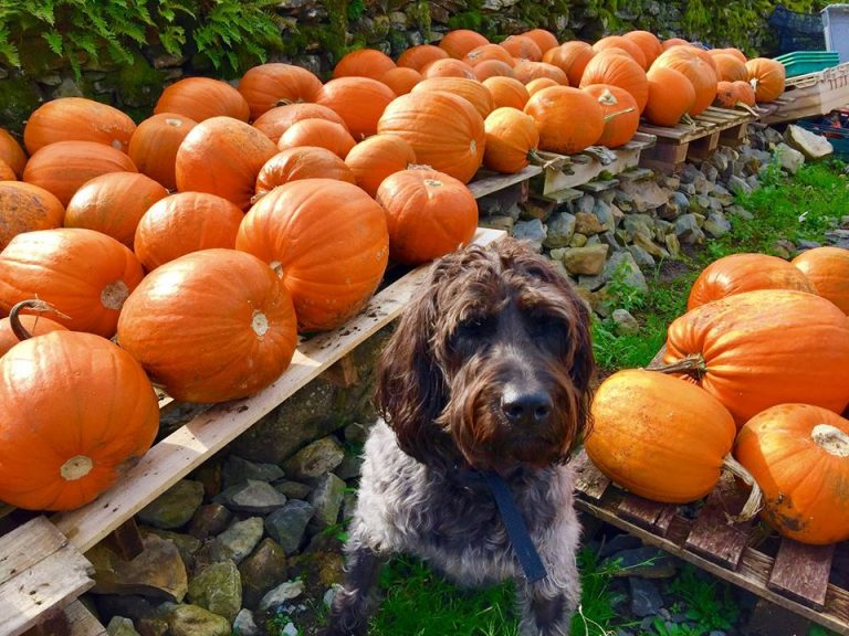 This Halloween Barking Mad explore whether dogs can eat pumpkin