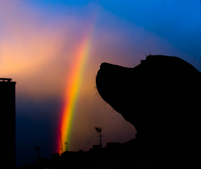 dog looking at sky with rainbow
